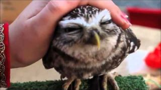 Cutest owl ever: northern saw whet owl